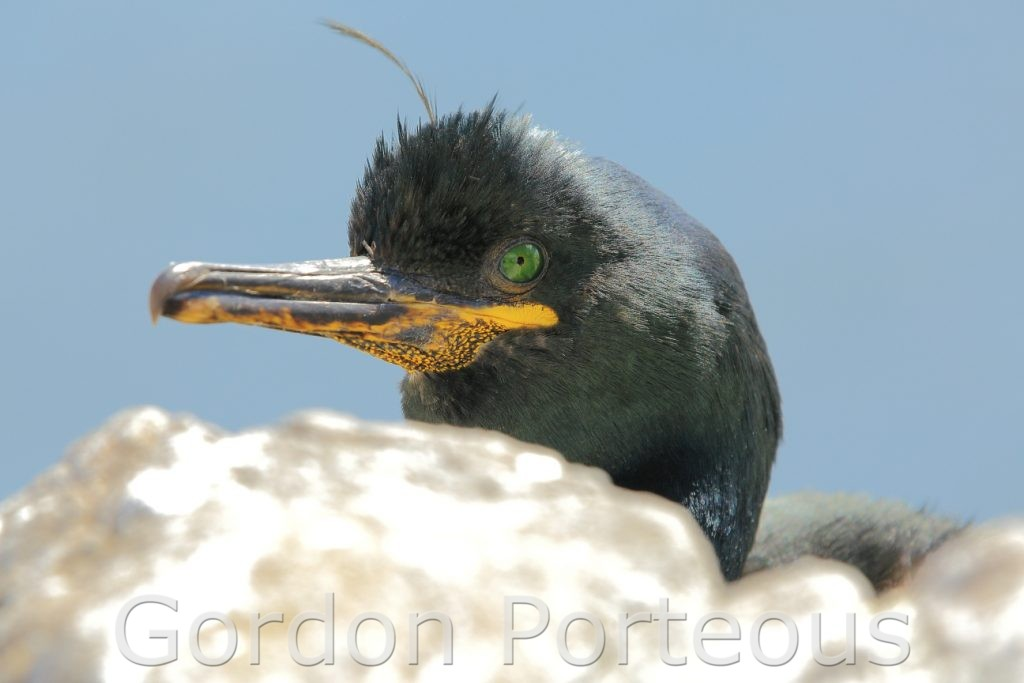 Shag behind rock