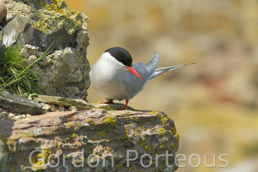 Arctic tern on ledge