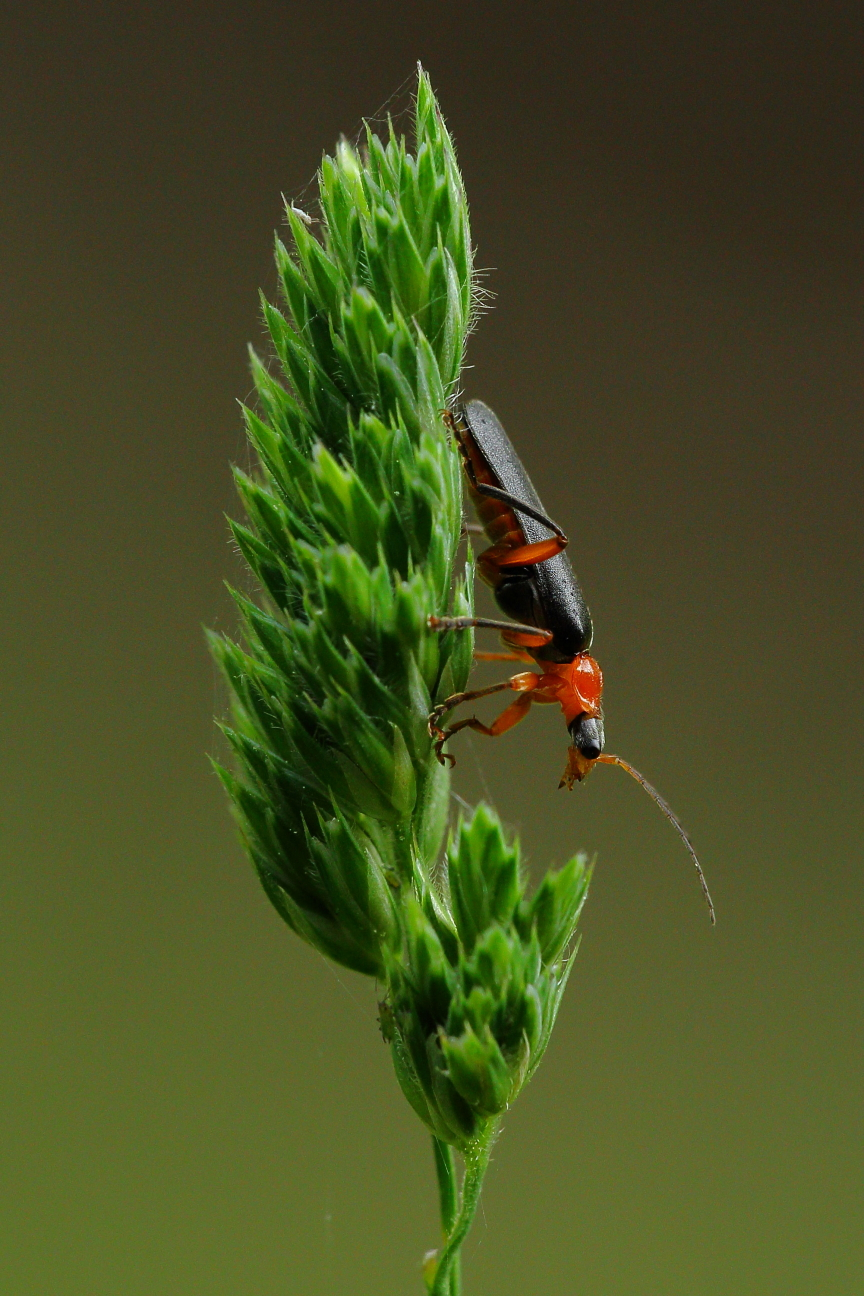 Soldier beetle on cocksfoot