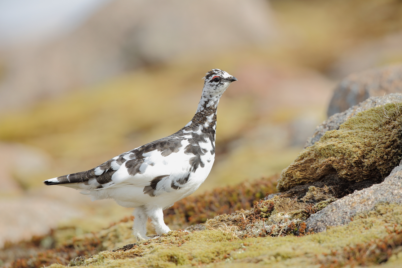 Male ptarmigan in spring