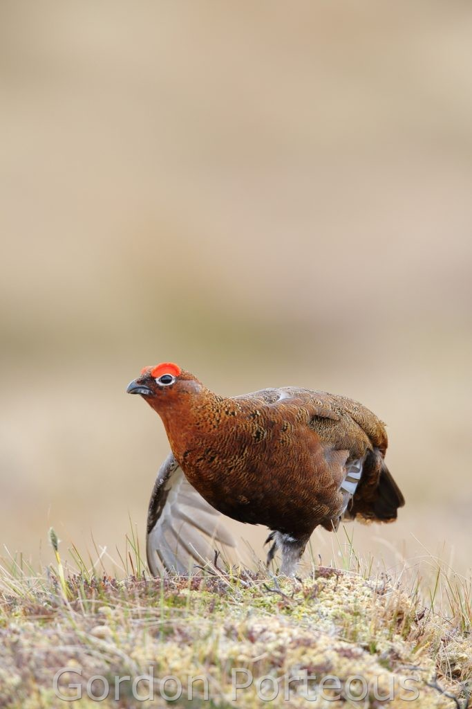 Stretching red grouse