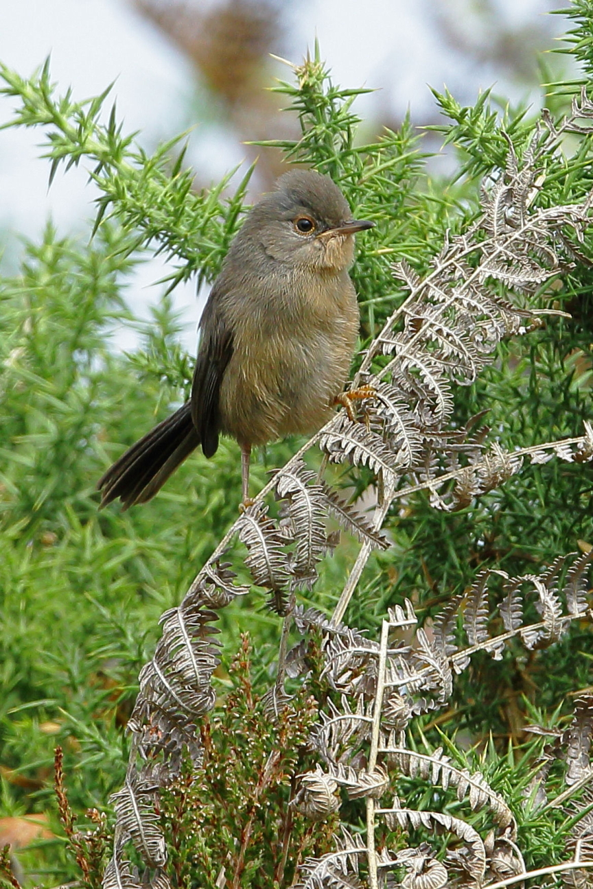 Dartford warbler 2 (on bracken)