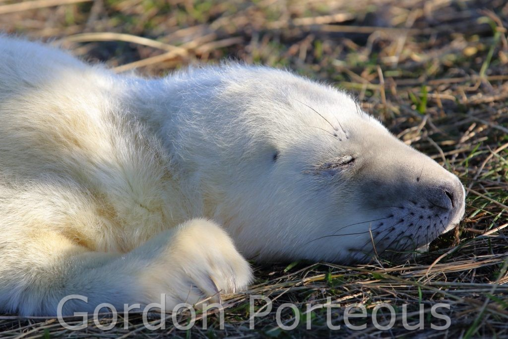 Sleeping white seal pup