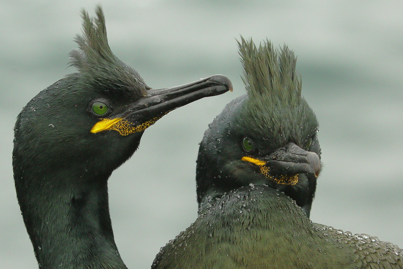 Two shags in the rain