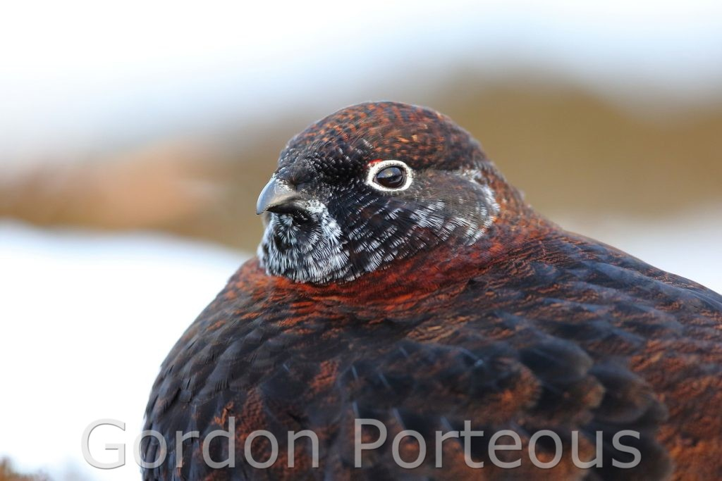 Male red grouse close up