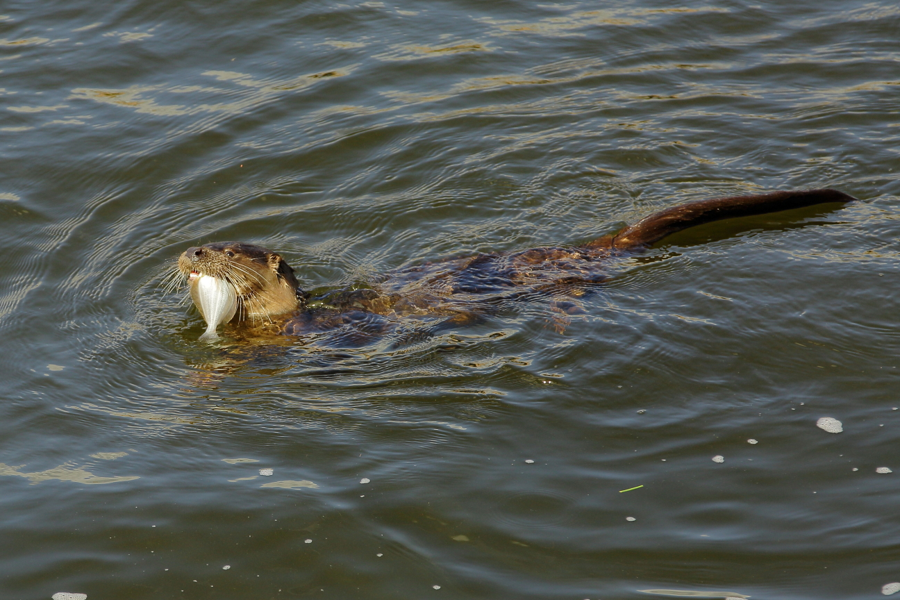Otter with flounder