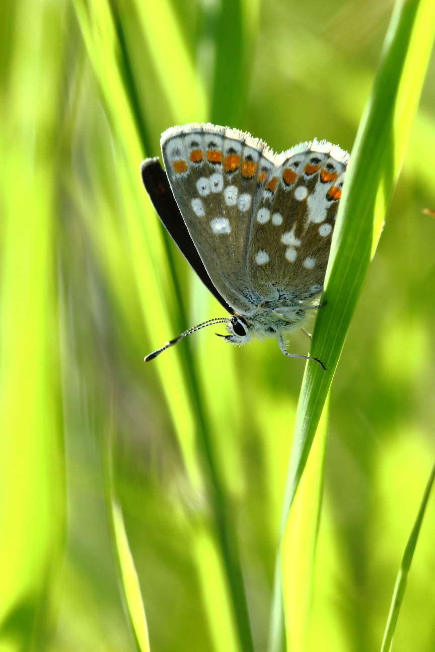 Northern brown argus 2