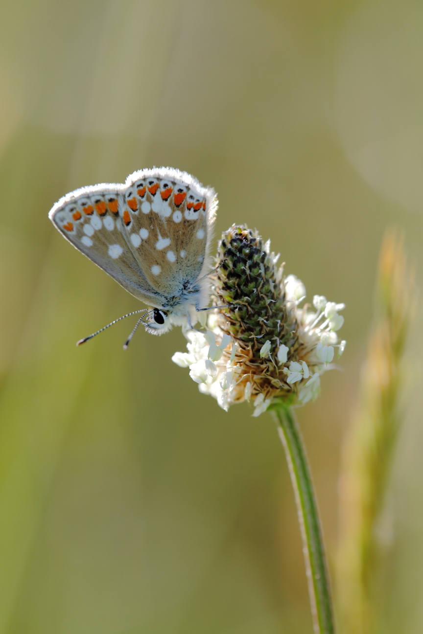 Northern brown argus 3 (on plantain)
