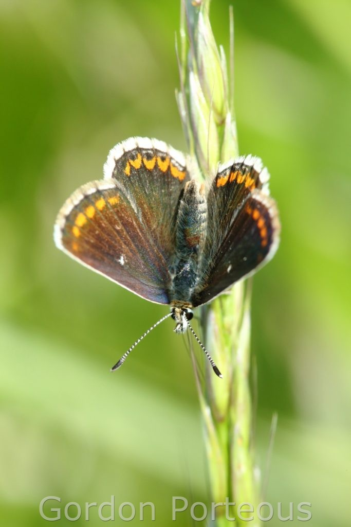 Northern brown argus 1