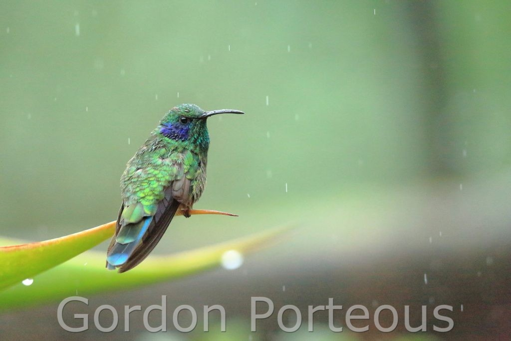 Green violet-ear hummingbird in a shower of rain