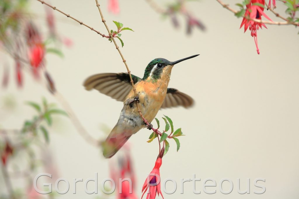 Hummingbird on a fuschia 1